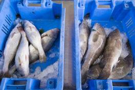 דגים בקרח בסלסלות
