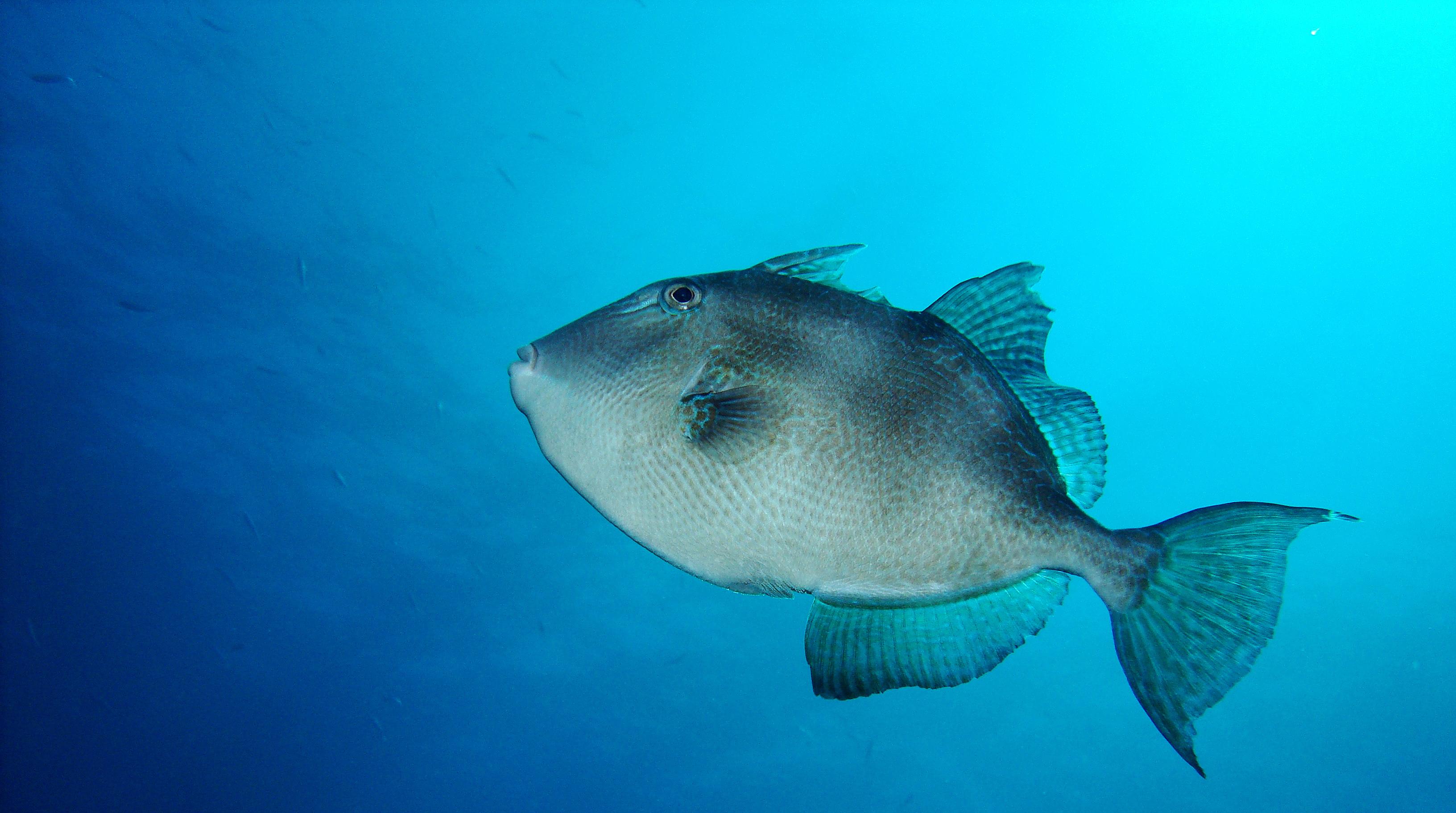 דג הנצרן