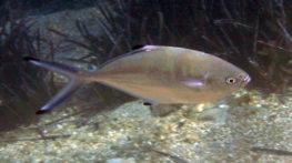 דג האריאן
