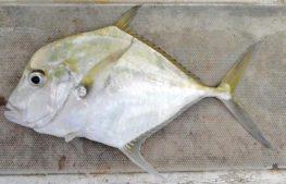 דג בן גוריון