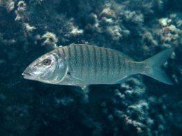 דג המרמיר