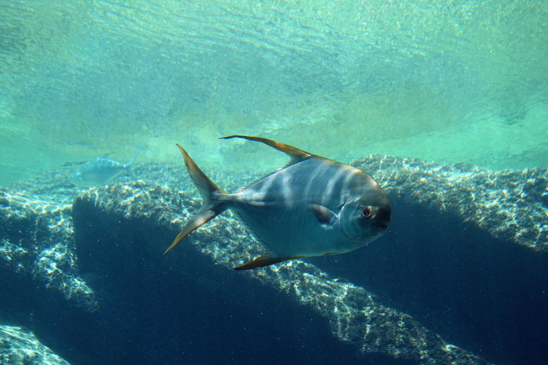 דג הכחלון