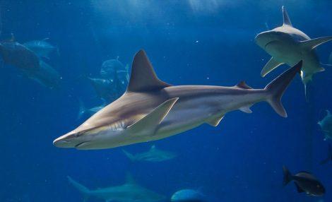 כריש סנפירת. צילום: Joe Boy