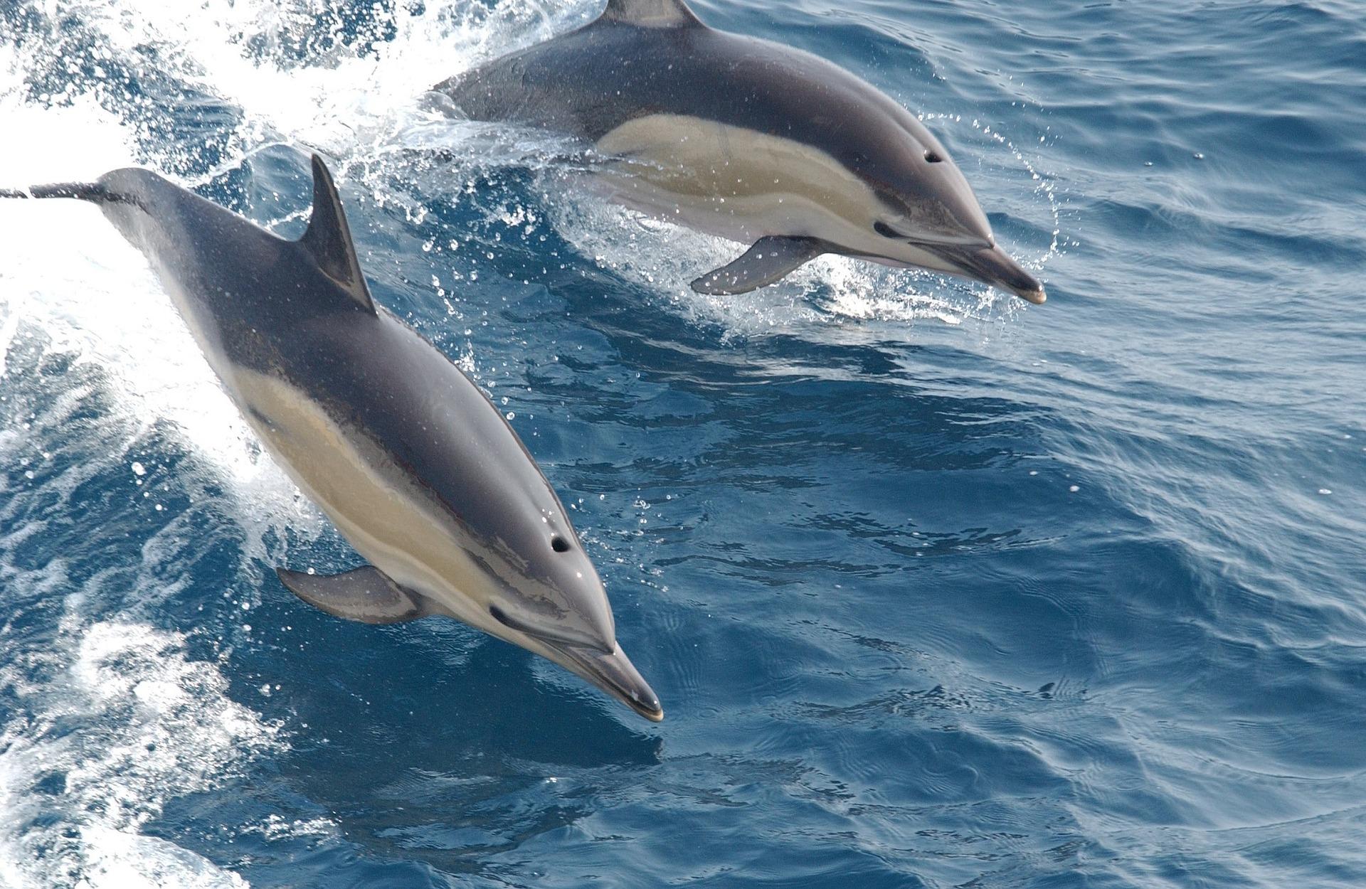 דולפין מצוי